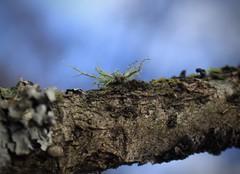 lichen (bulbocode909) Tags: lichens valais suisse branches champignons nature forêts vert bleu