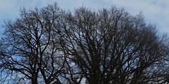 14 - La possibilité du bleu (melina1965) Tags: 2018 janvier january bourgogne saôneetloire saintvallier burgondy nikon coolpix s3700 hiver winter campagne opencountry ciel sky nuage nuages cloud clouds arbre arbres tree trees