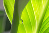 Peace Lily Bud Tear (Vincent Ferguson) Tags: lily peace newyear spathe water spathiphyllum floral liquid flower wildflower teardrop white