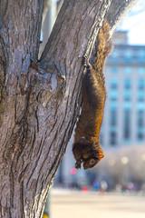 Hanging By My Feet With Bokeh (John Kocijanski) Tags: squirrel blacksquirrel bokeh animal wildlife nature odc feet happyfeet urban street tree canon18135mmstmlens