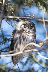 Boreal Owl (Laura Erickson) Tags: stlouiscounty strigiformes strigidae birds duluth borealowl species places minnesota aegoliusfunereus