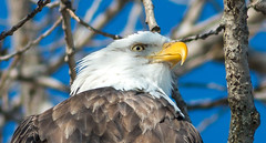 Get the Point? (114berg) Tags: 17jan18 bald eagles ld14 mississippi river