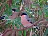 Bullfinch (jubewakayama) Tags: birding nature leaves eurasian bullfinch finch pyrrhula rosacea adult male female pink