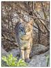 GATO (BLAMANTI) Tags: gatos felinos animales mascotas canon canonpowershotsx60 blamanti cat