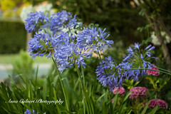 191A4648 (Anna Calvert Photography) Tags: floral flowers garden macro macrophotography mygarden nature naturephotography petals plants