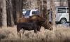 A very healthy looking moosey! (scepdoll) Tags: moose grosventre kelly jacksonhole winter grosventrecampground wyoming sagebrush urbanmoose