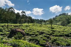 Munnar_0118_DSC_9163 (rsarpal) Tags: india kerala munnar teagarden estate tea hills sunny green landscape nikon