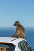 Baboon on the car roof (davidthegray) Tags: sudafrica capetown monkey baboon capepeninsula cittàdelcapo kaapstad southafrica babbuino scimmia westerncape za