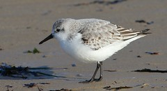 Sanderling 170118 (14) (Richard Collier - Wildlife and Travel Photography) Tags: wildlife naturalhistory british birds britishbirds sanderling