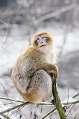 Dramatic barbary macaque. (carolinezy) Tags: gaiazoo animals gaiapark kerkrade gaia zoo dieren dierentuin animal snow winter netherlands nederland wintery cute barbary macaque barbarymacaque berberaap berber aap monkey