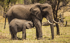 She has her mother's wrinkles... (JoCo Knoop) Tags: tanzania serengeti elephant