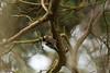 Lesser Spotted Woodpecker (Dryobates minor) Mažasis margasis genys