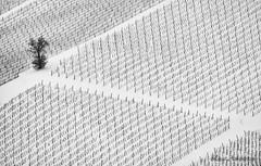 Vineyard (Luca-Anconetani) Tags: bw country monochrome lucaanconetani regionemarche lemarche paesaggimaceratesi landscapes nikon minimalist biancoenero bn panorami rural campagna italy travel winter vigneto vineyard tree lines geometrical