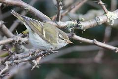 Yellow-browed warbler (Andrew_Leggett) Tags: yellowbrowedwarbler phylloscopusinornatus migrant bird warbler tiny winter wild wildlife nature natural
