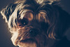 chewie. october 2017 (timp37) Tags: dog pet chewie october 2017