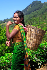 """""""Bonjour à Ayubowan"""" (Nithi clicks) Tags: srilanka teacrop plantation picking india women herb onlywomen people tamil leaf greencolor indianethnicity agriculture harvesting outdoors crop happiness landscape smiling working 2015 adult adultsonly asia asianandindianethnicities cheerful coworker cutting eastasianethnicity fourpeople horizontal indiansubcontinentethnicity landscaped lushfoliage manualworker photography sky smallgroupofpeople southeastasia srilankanculture teatreeoil toothysmile"""