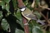 Great Tit-103 (davidgardiner8) Tags: birds eastsussex garden greattit tits
