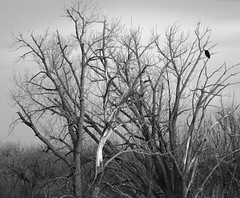 One Eagle (tohlfer) Tags: eagle southdakota southdakotaart southdakotablackandwhite blackandwhite blackandwhitesouthdakota blackandwhitelandscape canon canon5dmarkii canon70200f4