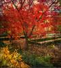 recuerdo de un otoño incandescente (desde mi corazón) Tags: madrid jardínbotánico otoño textura plantas airelibre noviembre