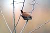 Winter Wren (midlander1231) Tags: wren winter birdwatching britishbirds britishwildlife wildlife birds nature