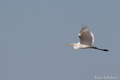 Garça-branca-grande, Great White Egret (Egretta alba) (Vasco VALADARES) Tags: garçabrancagrande greatwhiteegret egrettagarzetta birds bird wing wings feather feathers nature wildlife naturephotography aves ave canon