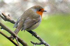 Robin (eric robb niven) Tags: ericrobbniven scotland dunkeld perthshire wildlife wildbird nature robin springwatch