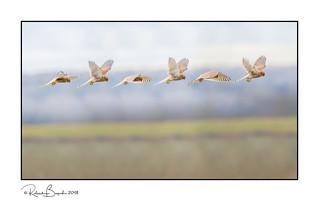 Kestrel hovering sequence