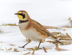 Horned Lark (tresed47) Tags: 2018 201801jan 20180131bombayhookbirds birds bombayhook canon7d content delaware folder hornedlark january lark peterscamera petersphotos places season takenby us winter