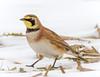 Horned Lark (tresed47) Tags: 2018 201801jan 20180131bombayhookbirds birds bombayhook canon7d content delaware folder hornedlark january lark peterscamera petersphotos places season takenby us winter ngc