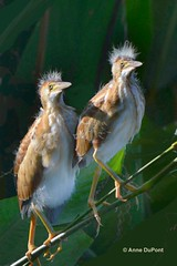 least bittern chicks (c) 2017 AnneDuPont. All Rights Reserved. DSC_03742 tx