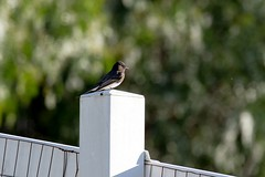 2017 Black Phoebe 6 (DrLensCap) Tags: black phoebe temecula california ca bird robert kramer