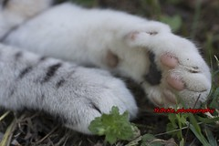 cat paw (Kirlikedi) Tags: cat animal foot hand paw domestic cute nail trace finger white black striped claw pet