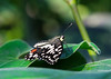 Butterfly (LuckyMeyer) Tags: black white insect makro butterfly green plant botanical schmetterling garden
