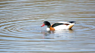 Sunnyside Duck