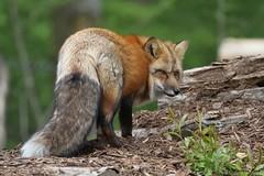 Renarde rousse (Passion Animaux & Photos) Tags: renard roux red fox vulpesvulpes parc animalier saintecroix france