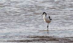 ExeEstuary-10 (oldparson) Tags: devon estuary marches birds canon exe waders
