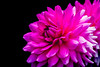Decorative Dahlia (Keith in Exeter) Tags: blooming bright colouronblack dahlia decorative flower garden macro nature petals pink