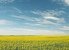 Golden Glow (Peter Kurdulija) Tags: autonomnapokrajinavojvodina geo:lat=4498561300 geo:lon=2015687730 geotagged serbia srb starapazova srbija vojvodina plain fertile bread basket sun yellow flower blue sky day happy minimalism landscape nature travel kurdulija