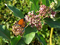 Monarch Butterfly on Milkweed (treegrow) Tags: washingtondc rockcreekpark lifeonearth nature raynoxdcr250 arthropoda insect lepidoptera danausplexippus taxonomy:binomial=danausplexippus nymphalidae