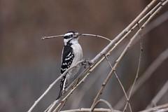 """Downy Woodpecker"" ""Picoides pubescens"" (jackhawk9) Tags: downywoodpecker picoidespubescens woodpecker birds wildlife nature jackhawk9 southjersey backyardbirding newjersey usa canon ngc"