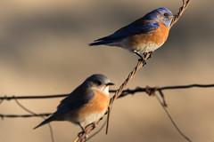 Western Bluebird Pair (Sialia mexicana) (Brown Acres Mark (always 2 days behind)) Tags: westernbluebird sialiamexicana emigrantlake jacksoncountyoregon oregon usa markheatherington