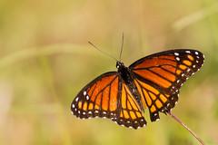 Monarch_P1410665 (sendtoGandO) Tags: butterflies insects invertebrates louisiana monarchdanausplexippus places