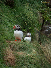 Puffins (Fratercula arctica) (dieLeuchtturms) Tags: lunde borgarfjörðurhöfn alkenvögel meer europa austurland 3x4 borgarfjorðureystri ostfjörde fjord wirbeltiere regenpfeiferartige island papageitaucher eastfjords europe fraterculaarctica iceland puffin sea is