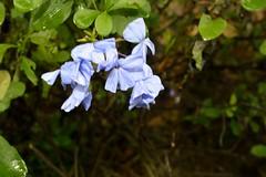 WOL Calauan Laguna Philippines Day 7 (164) (Beadmanhere) Tags: philippines flowers