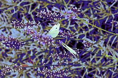 Lavender and Moths! (maginoz1) Tags: abstract art flowers rose lavender summer february 2018 bulla rosegarden melbourne victoria australia canon g3x manipulate curves colours