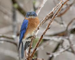 Bluebird of Unhappiness (snooker2009) Tags: bird blue happiness sad happy unhappy nature wildlife pennsylvania winter bluebird eastern ice storm cold mad