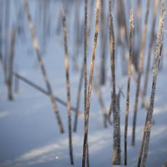 Mikado végétal * (Titole) Tags: grass stipes lines snow titole nicolefaton squareformat shallowdof