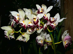 Cymbidium Fan Freak peloric hybrid orchid (nolehace) Tags: winter nolehace sanfrancisco fz1000 118 plant bloom flower cymbidium fan freak peloric hybrid orchid