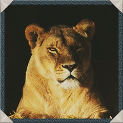 Intense moment. (pitkin9) Tags: animal lioness pantheraleo yorkshirewildlifepark