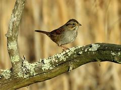 SWSP_2018b (Surfishrink) Tags: swampsparrow pandapaspond virginia usa melospizageorgiana montgomerycounty